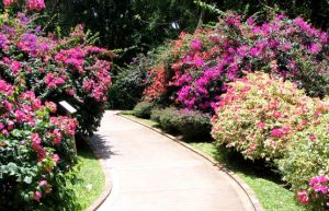 Bougainvilliers path